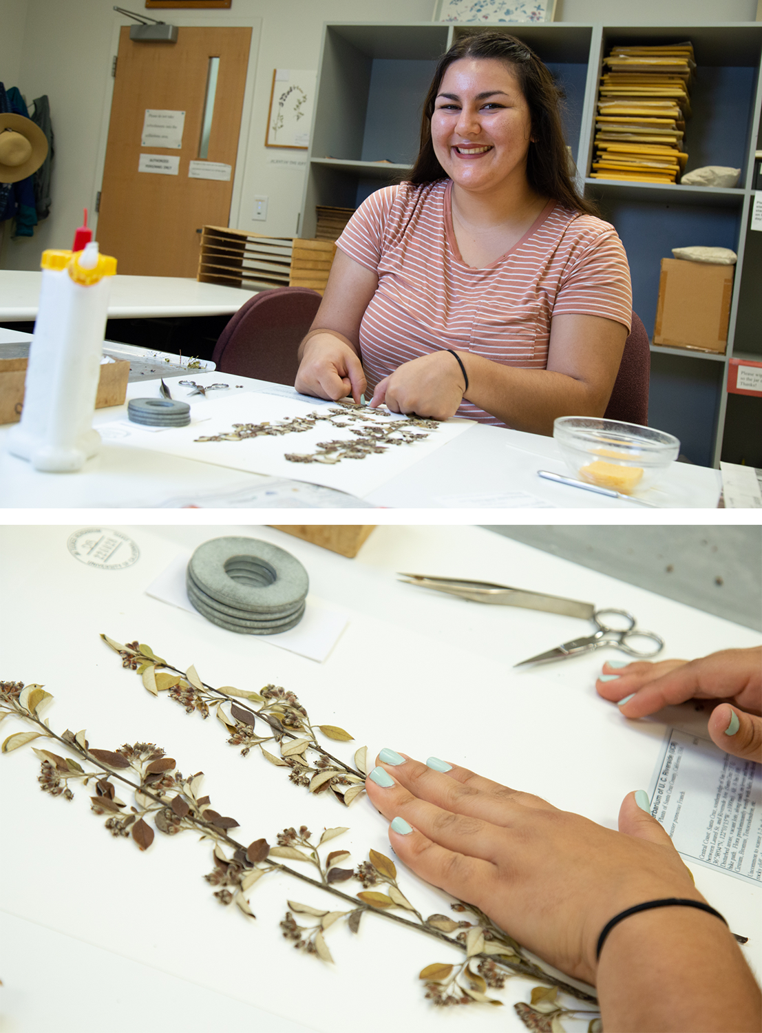 Sarina Rodriguez glues a sample to card paper to prepare it for the plant archives.