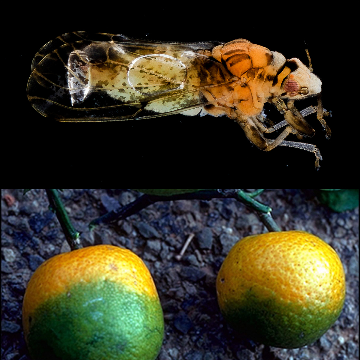 Citrus greening and infected fruit