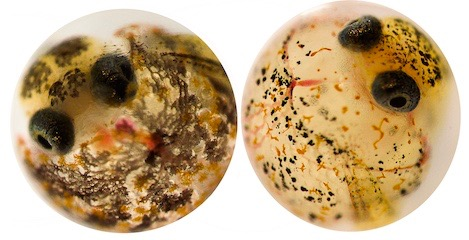 Embryos from resistant (left) and sensitive (right) populations of Gulf killifish