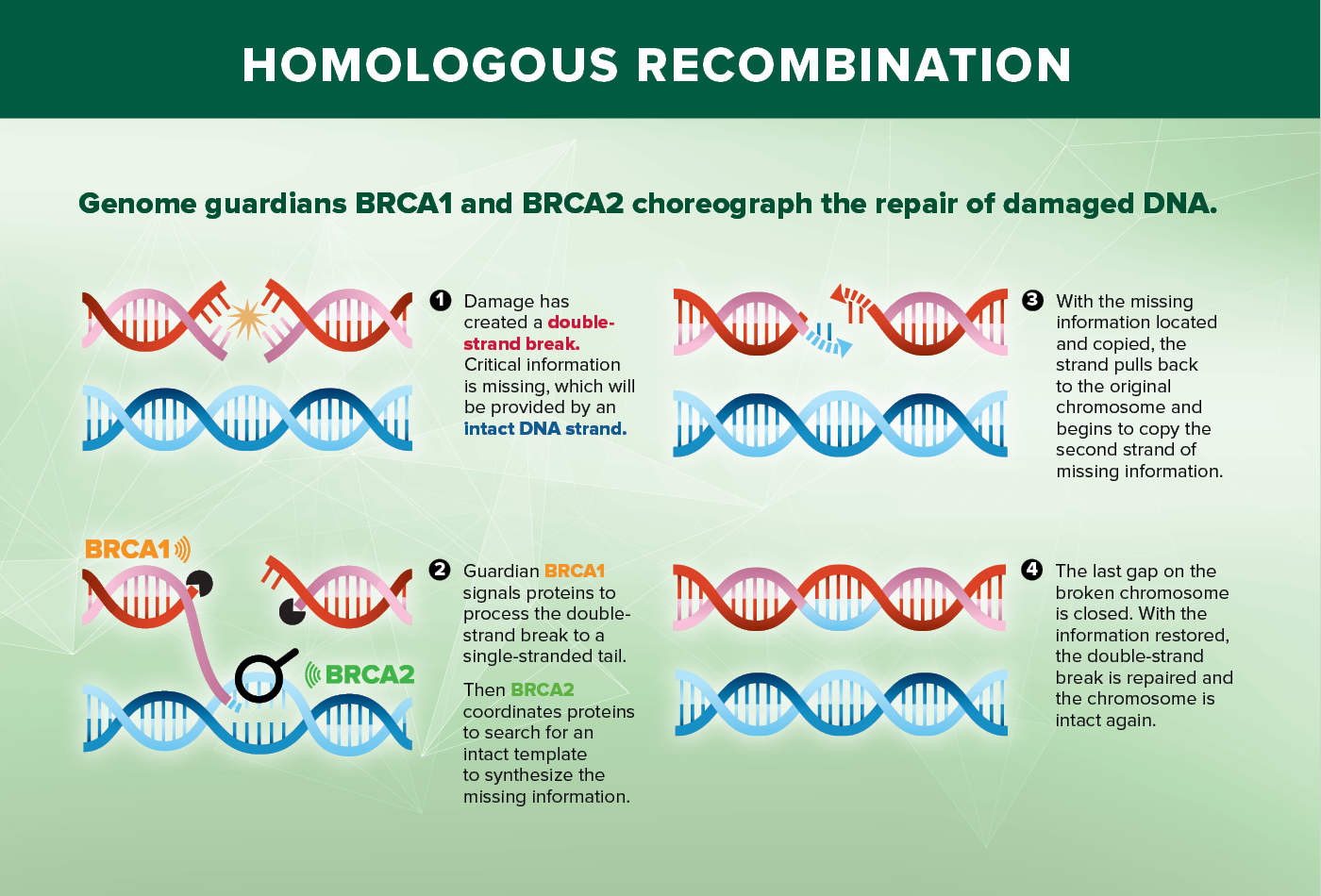 Homologous Recombination Diagram