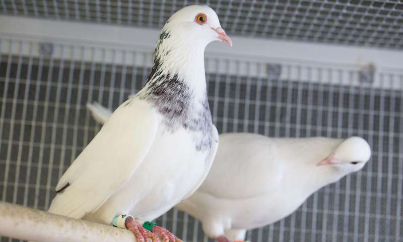 Two rock doves perch inside a cage