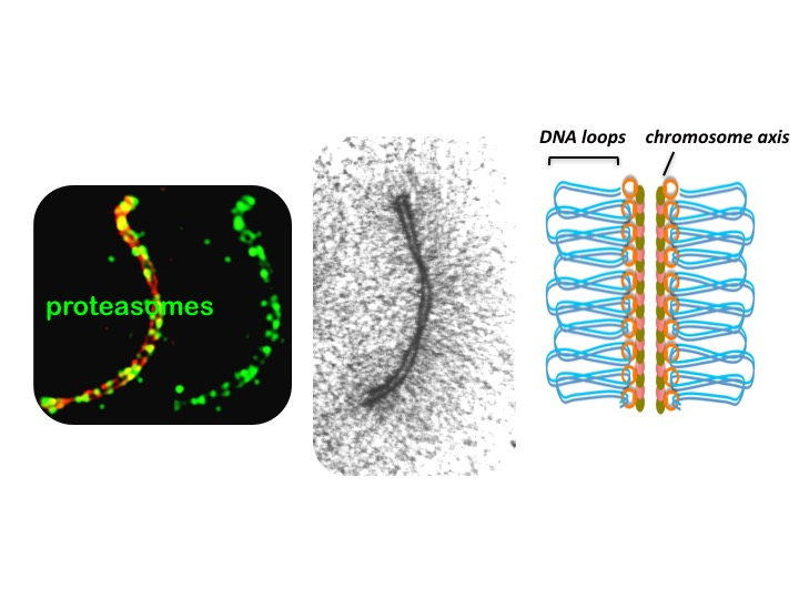 On the left, proteasomes (green) attach to the chromosome axis. The axis is a protein scaffold that allows DNA to form loops for crossovers to occur. Image: Neil Hunter