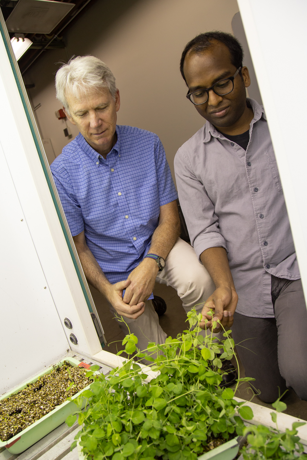 Steven Theg and Iniyan Ganesan look at their study subject, the garden pea.