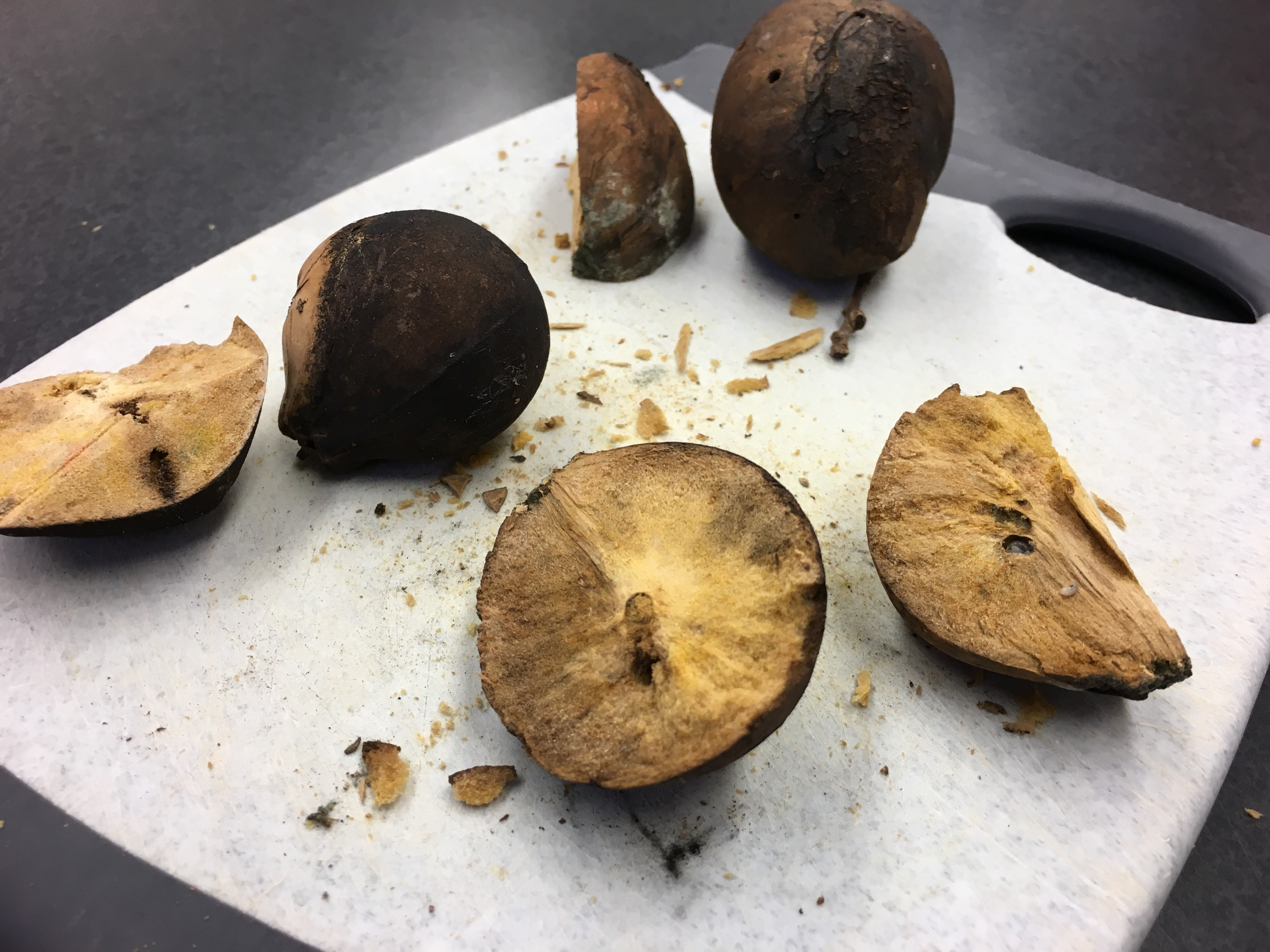 "Sliced open ""oak apples"" reveal how the growths act is incubators for wasp larvae. They're later used by spiders as habitats, providing protection from predators and the elements. Greg Watry/UC Davis"