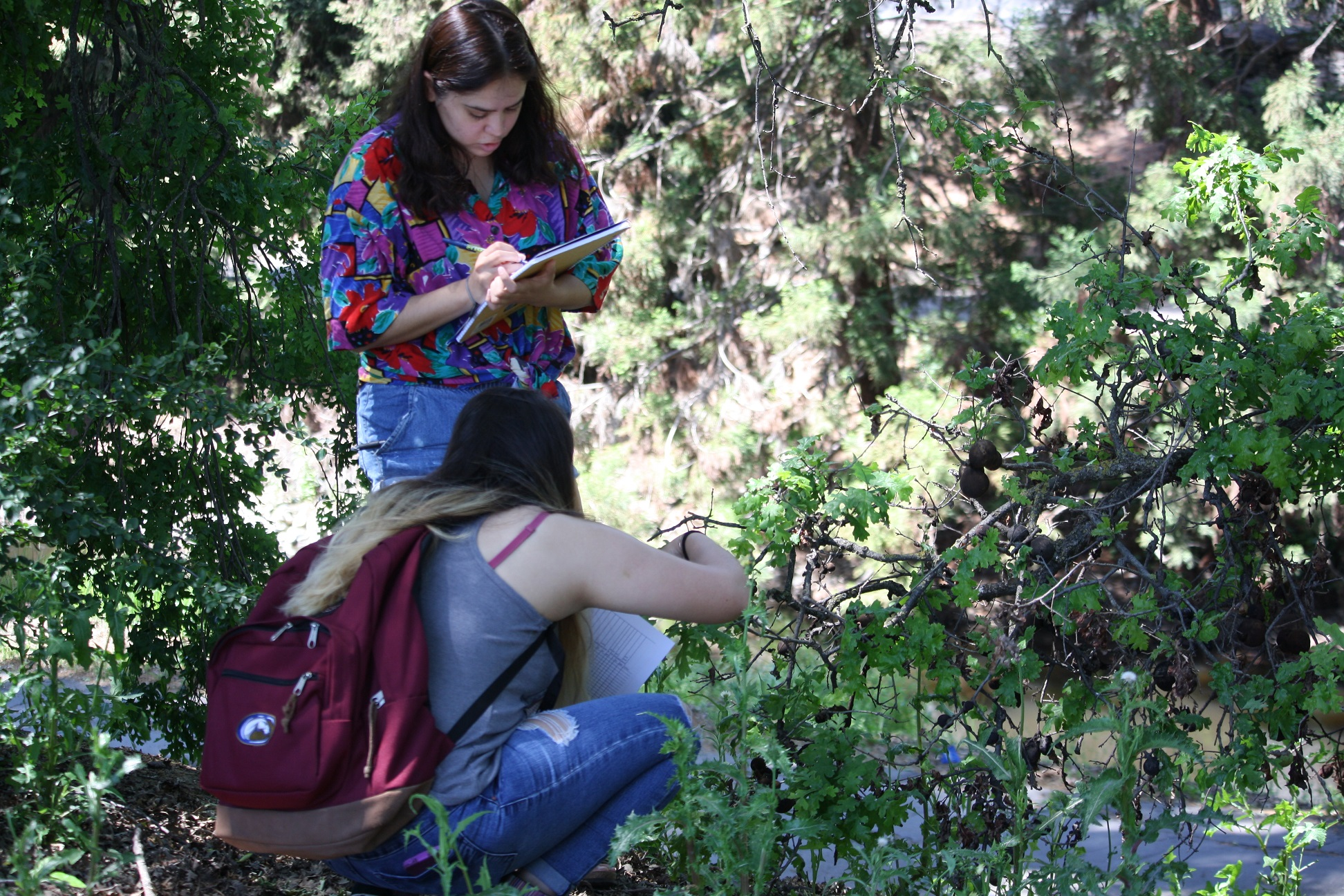 Lisbeth Solis (back, standing) and Abigail Rodriguez (front, kneeling) collect data on insect damage and wasp galls on valley oak trees in the Arboretum.  Laci Gerhart-Barley