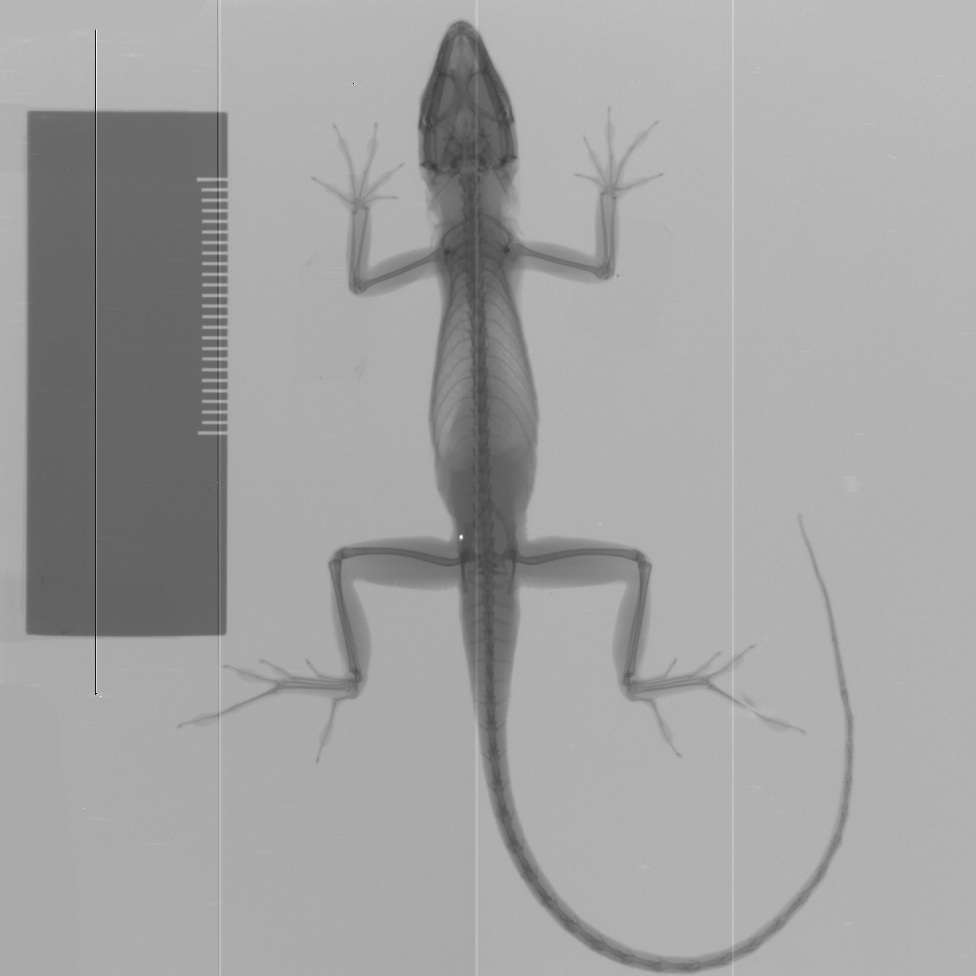 Brown anole x-ray
