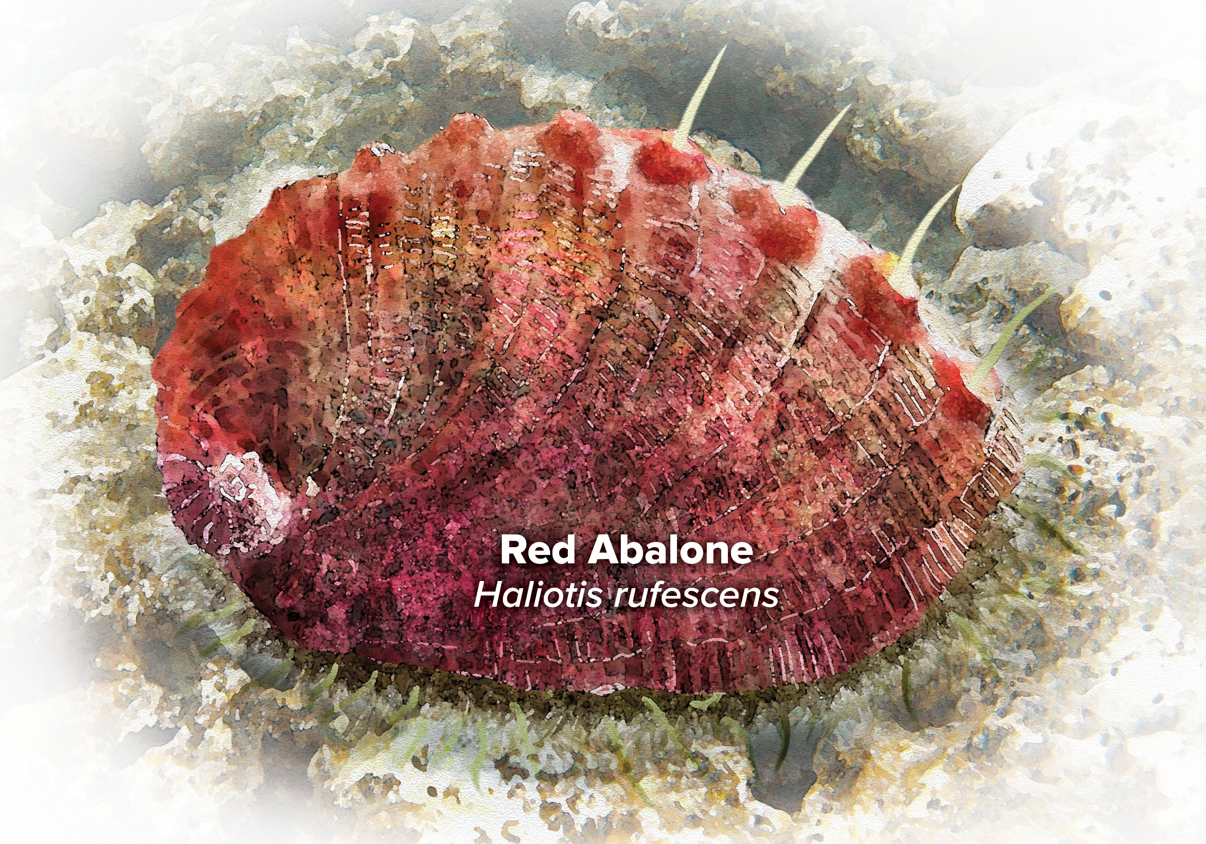 Watercolor illustration of a Red Abalone