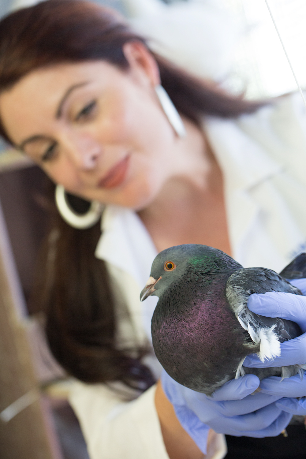 Assistant Professor Rebecca Calisi, Department of Neurobiology, Physiology and Behavior, analyzes toxins in pigeons to better understand how the birds can provide insight into environmental pollution levels in human populations. David Slipher/UC Davis