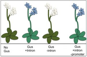 "The GUS gene turns Arabidopsis plants blue. This gene can still function without a promoter, normally the ""on/off"" switch for genes, as long as it has an intron to act as a ""volume control."" Jenna Gallegos/UC Davis"