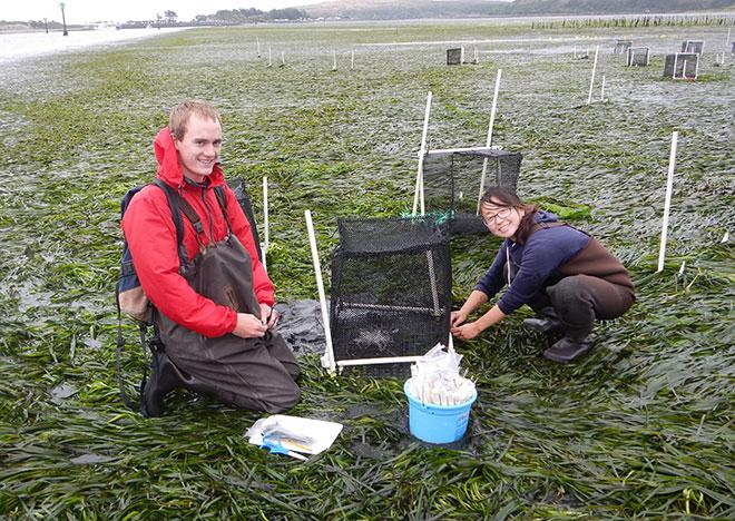 Grace Ha and Jim Freed, a student at Santa Rosa Junior College, deploy Ha's experiment on cryptic coloration and predation in eelgrass at the UC Davis Bodega Marine Laboratory