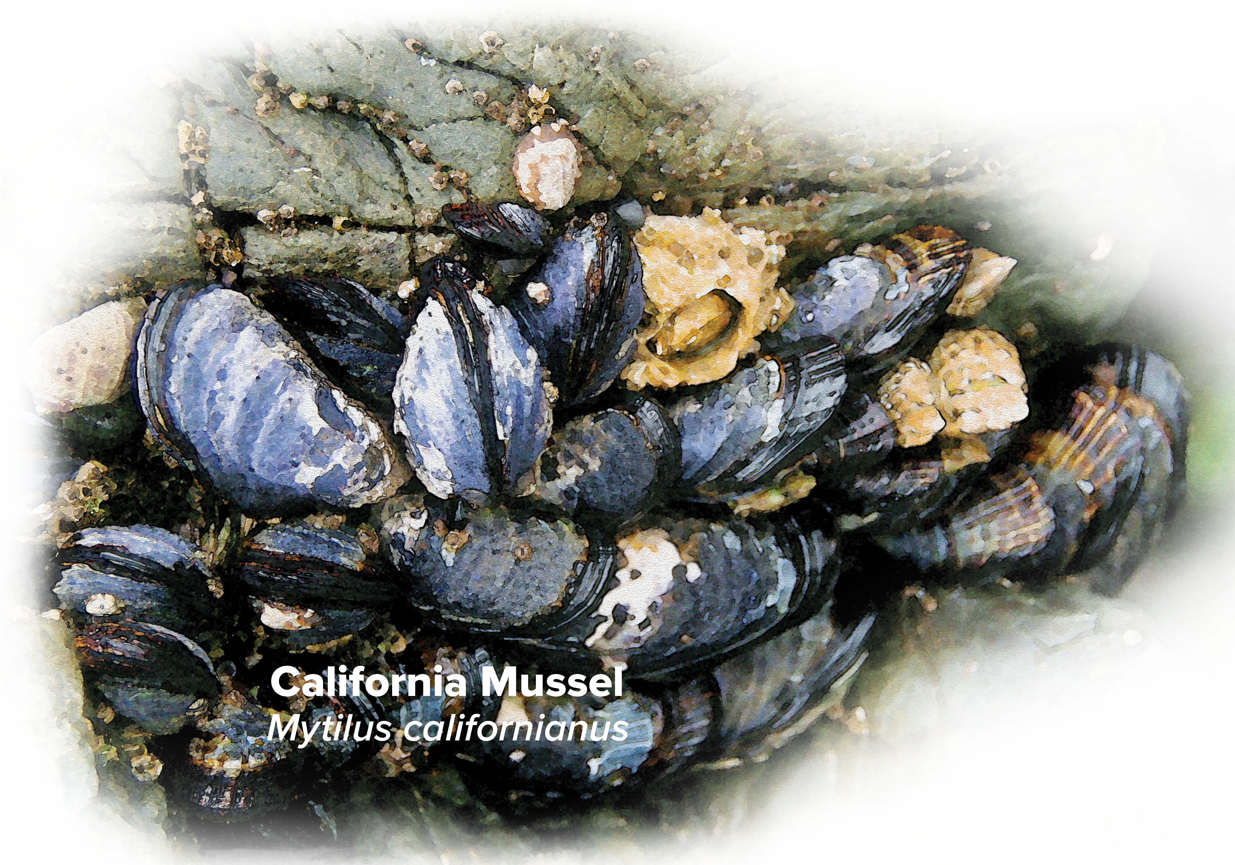Watercolor illustration of California Mussels