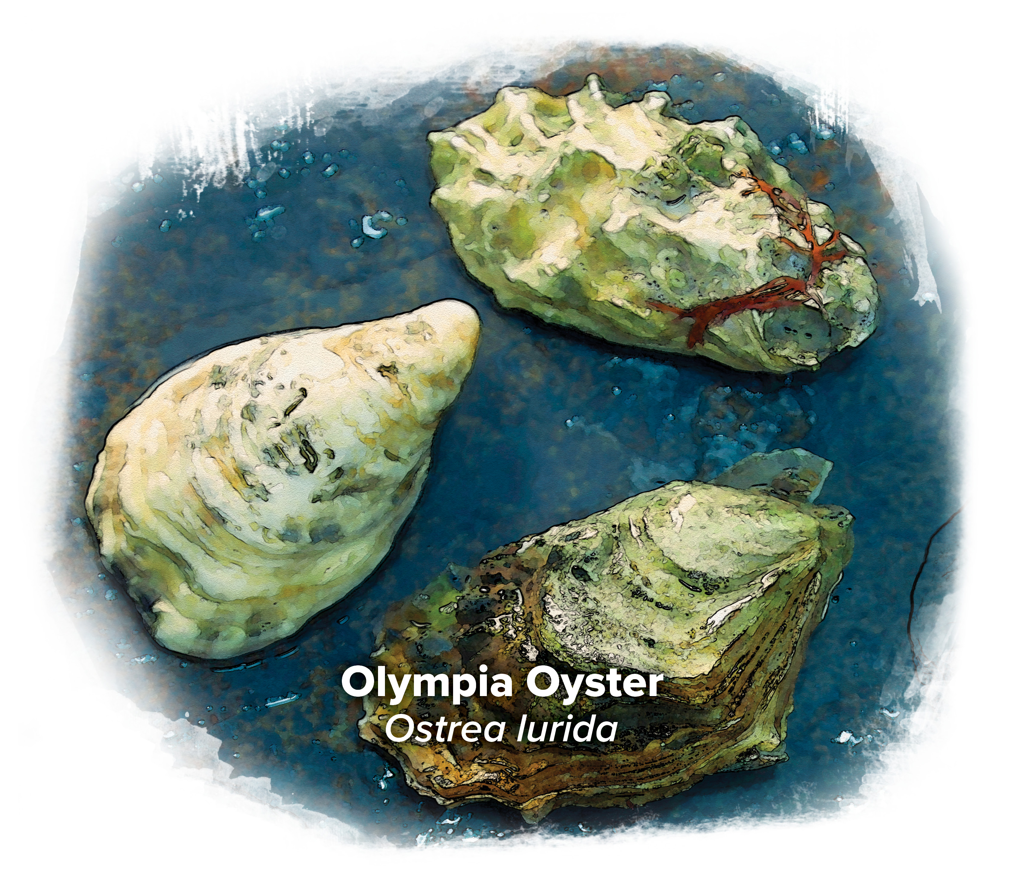 olympia oyster illustration