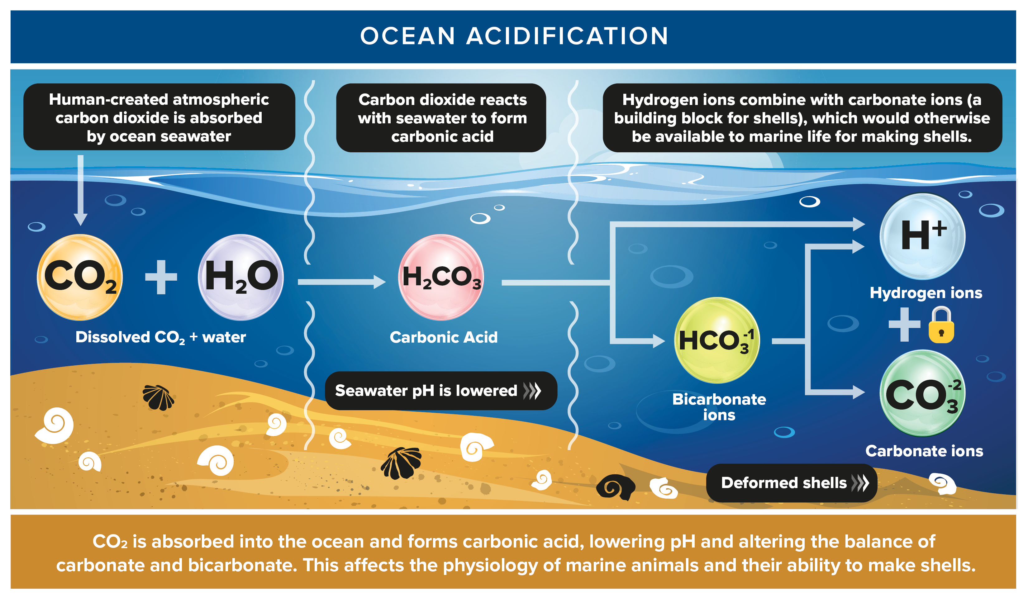 carbon dioxide intake of oceans essay The carbon cycle is the biogeochemical cycle by which carbon is exchanged  among the  because carbon uptake in the terrestrial biosphere is dependent on  biotic factors, it follows a diurnal and seasonal cycle in co2  this carbon  dioxide can be released into the atmosphere and ocean through volcanoes and  hotspots.