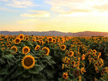 Harmer's research shows how sunflowers use their circadian clock to anticipate the dawn and follow the sun across the sky during the day. Chris Nicolini/UC Davis