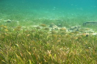 A school of rabbitfish in seagrass. Rabbitfish depend on seagrasses for habitat and food and are prized for their flavor. Christine Sur