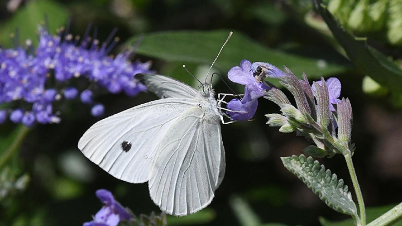 A cabbage white butterfly, Pieris rapae, nectaring on catmint in Vacaville, Calif. Photo by Kathy Keatley Garvey