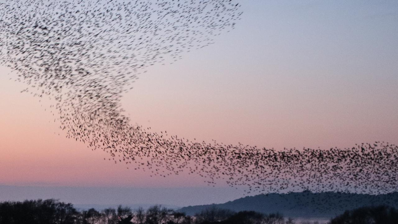 A murmuration of starlings flock at sunset