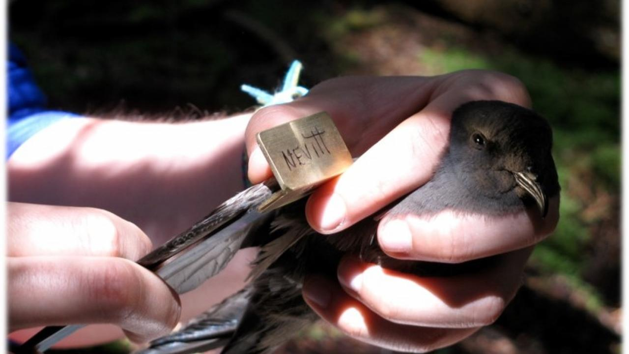 Hands hold a Leach's storm-petrel.