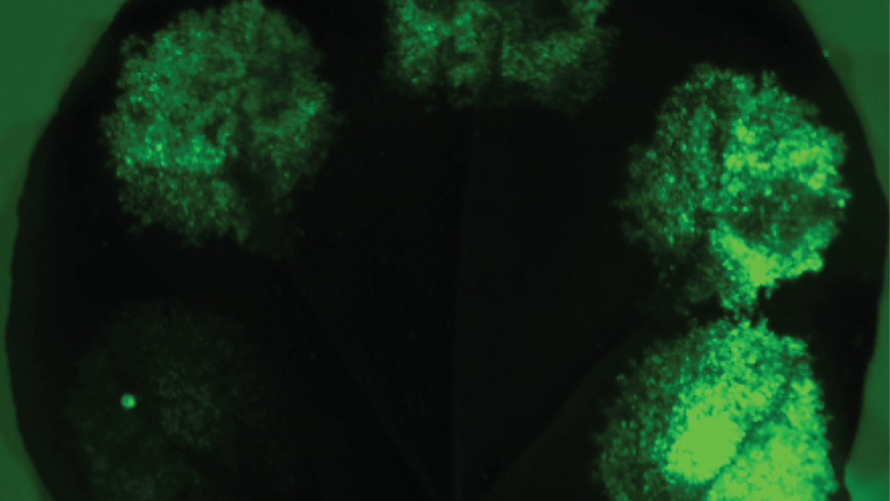 A leaf with various synthetic promoters expressing Green Fluorescent Protein