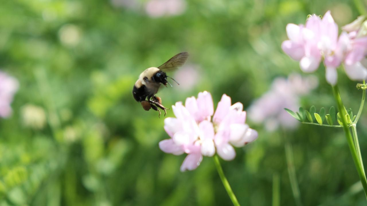 A bumblebee flies near a flower