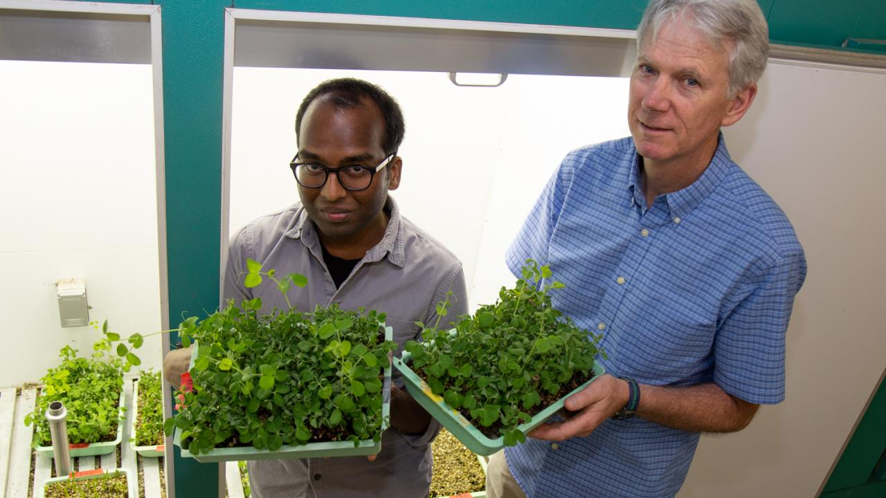 Ph.D. student Iniyan Ganesan and Professor Steven Theg stand with garden pea plants.