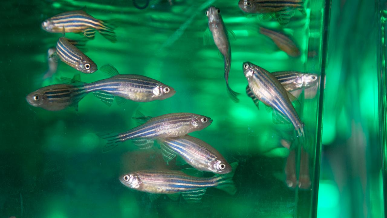 Zebrafish swim in a tank. David Slipher/UC Davis
