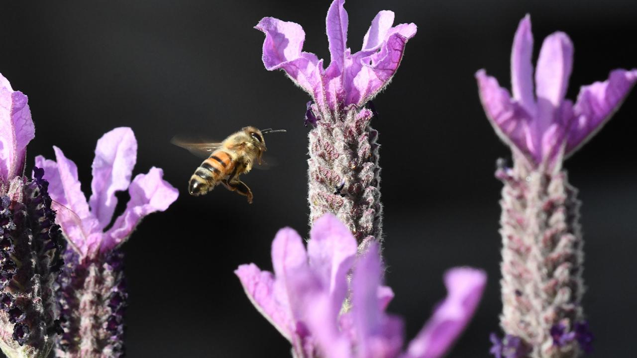 Understanding the history of honey bee lineages may help researchers ensure a successful future for this critical pollinator species. Kathy Keatley Garvey/UC Davis