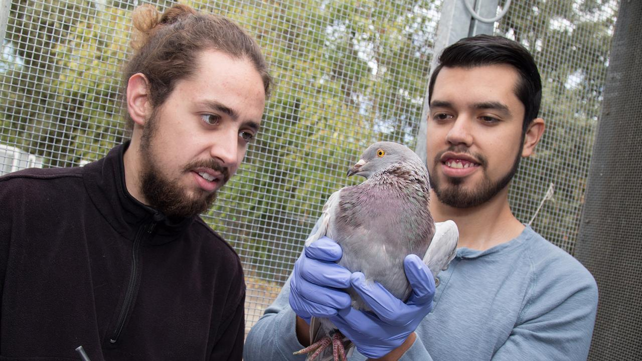 Undergraduates Tanner Feustel and Brandon Nava Ultreras examine and document the health status of a pigeon as part of research for the Rebecca Calisi Lab. David Slipher/UC Davis