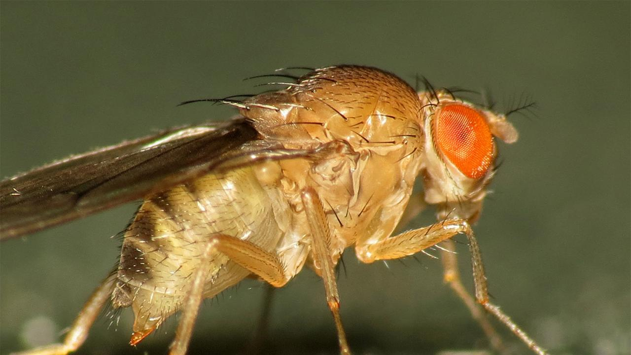 Genomic tools may help provide some fundamental predictability regarding adaptive evolution in fruit flies. Martin Cooper