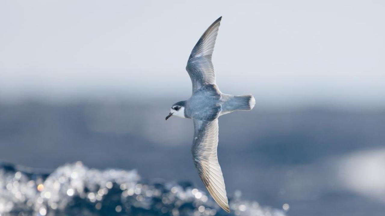 Some species of seabirds, including blue petrels, are particularly vulnerable to eating plastic debris at sea. Credit: J.J. Harrison.