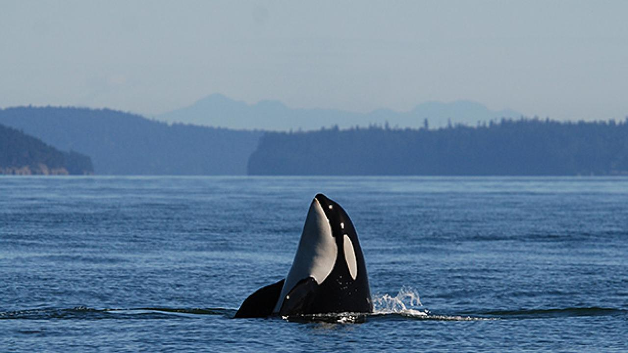 Personal health records for the Puget Sound's southern resident population of killer whales will help veterinarians monitor their well being. (Joe Gaydos/UC Davis)