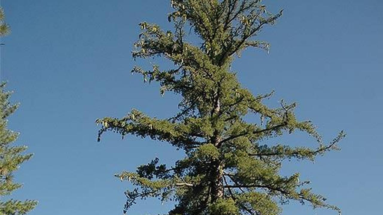 "The genome of California's legendary sugar pine, which naturalist John Muir declared to be ""king of the conifers"" more than a century ago, has been sequenced by a research team led by UC Davis scientists."