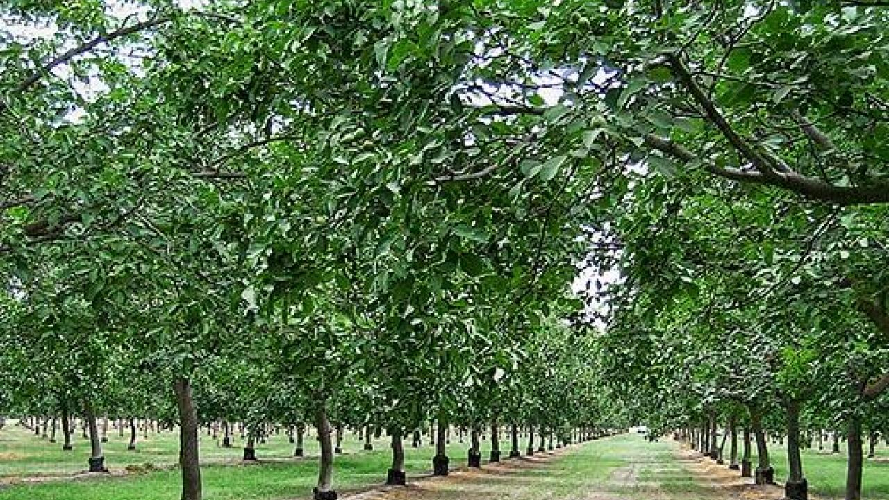 Scientists at the University of California, Davis, have for the first time sequenced the genome of a commercial walnut variety.