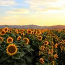Sunflowers near the UC Davis campus. New campus research shows how sunflowers use their circadian clock to anticipate the dawn and follow the sun across the sky during the day. (Chris Nicolini, UC Davis)