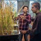 Postdoc Imtiyaz Khanday and Professor Venkatesan Sundaresan with cloned rice plants in a UC Davis greenhouse
