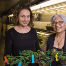College of Biological Sciences Associate Professor Siobhan Brady and Professor Neelima Sinha in the Department of Plant Biology research and refine successful plant traits.  David Slipher