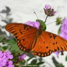 The Gulf Fritillary is a subtropical butterfly that expanded its range into the Davis-Sacramento Valley in the past decade and seems to have done extremely well during the drought years. Kathy Keatley Garvey