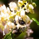 Researchers have been super-gluing little barcodes to bumblebees in order to track their movements. James Crall/Harvard University