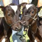 Cloning cattle is an agriculturally important technology. Dot and Ditto were born in 2003, the fourth and fifth cow clones born at UC Davis. (Credit: Alison Van Eenennaam, UC Davis Department of Animal Science)