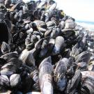 This bed of mussels at Bodega Marine Reserve provides habitat for an ecosystem of smaller species. (Photo: Laura Jurgens)