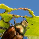 A Japanese beetle munches a leaf. Credit: Bill Ravlin/Michigan State University
