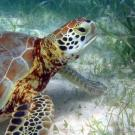 Sea turtles and other marine animals browse on seagrass meadows. NOAA photo