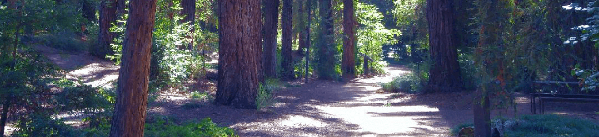 Redwood grove arboretum path