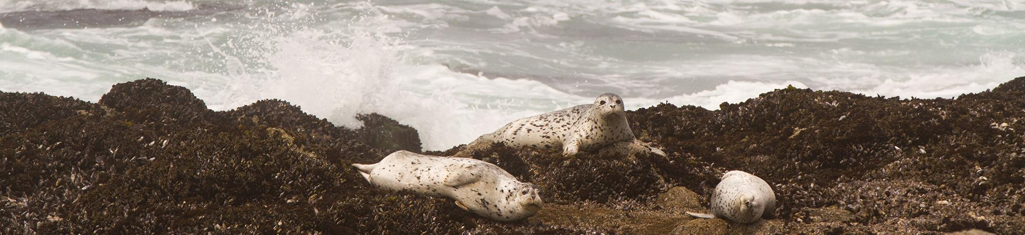 Seals lounge on the rocks at the Bodega Marine Lab